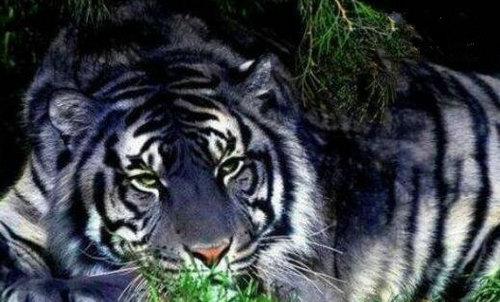 黑蓝虎灭绝了吗,黑蓝虎和东北虎哪一个更厉害?