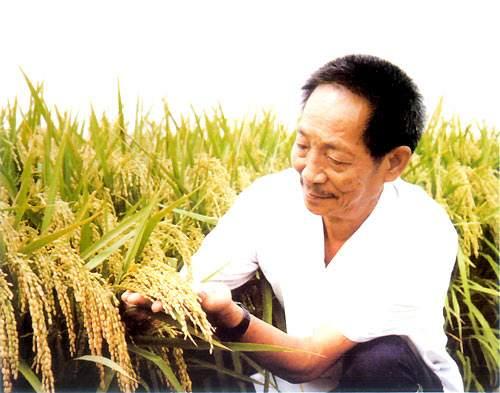 巨型水稻什么时间推广?巨型稻高达2.25米实拍图