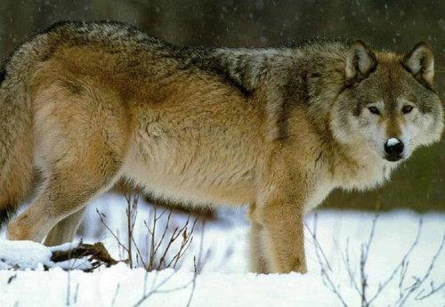 最凶的狼是什么狼,几只狗能打过一只狼?