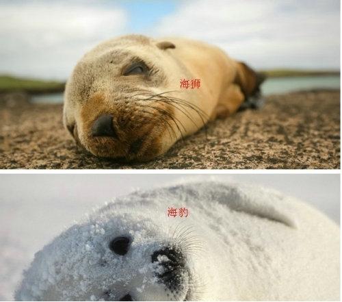 海豹和海狮能在沙滩上晒太阳吗,海豹和海狮会不会打架?