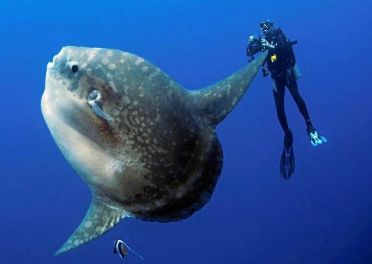 翻车鱼的死法太残忍了,四种原因导致死亡(都是谣言)