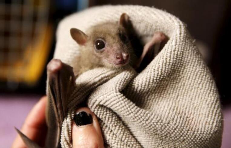 蝙蝠飞到家里是什么预兆,寓意福进家门福从天降