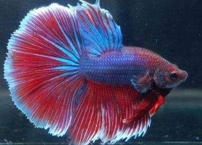 泰国斗鱼品质级别介绍,最稀有的斗鱼颜色是什么色的?