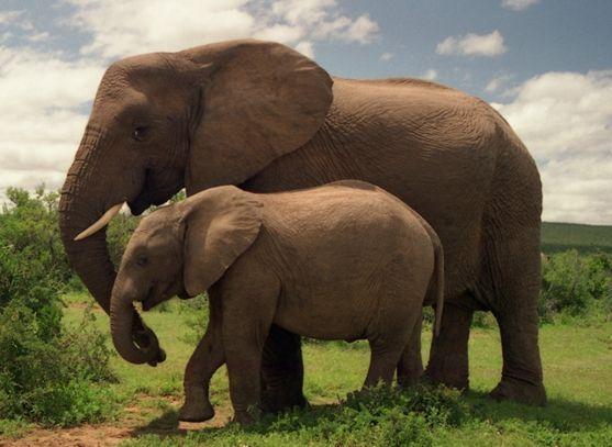 大象英语怎么读(elephant大象的英式发音与美式发音区别)