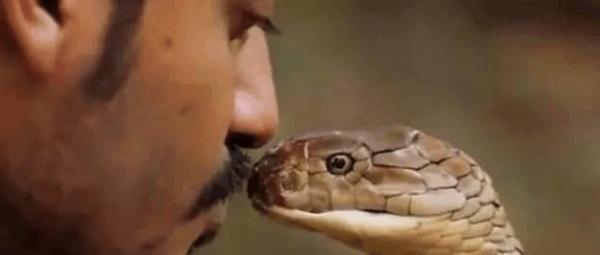 世上体型最长的毒蛇眼镜王蛇