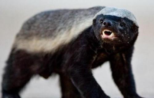 直击世界上胆量最大的动物 没有东西是它最怕的