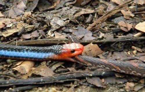 东南亚最神秘莫测的毒蛇十分致命